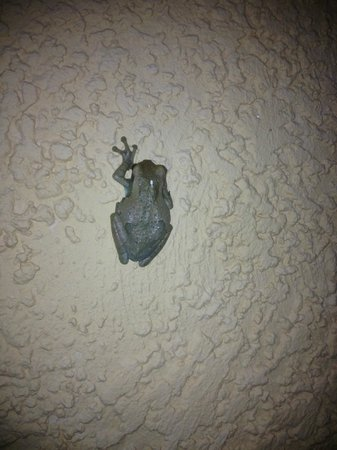 Boca Chica Plantation Club & Resort: A frog we saw walking on the wall a night