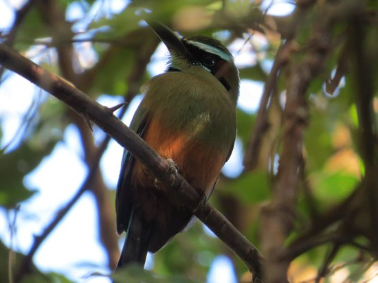 Pura Vida House :                   Turquoise browed Motmot & many others seen near Pura Vida