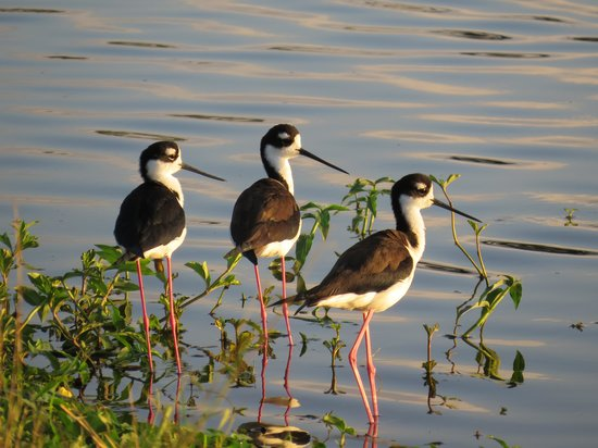 Pura Vida House :                   Black-necked Stilts at golf course pond