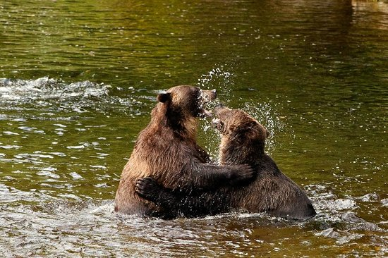 Knight Inlet Lodge: grizzly bears playing