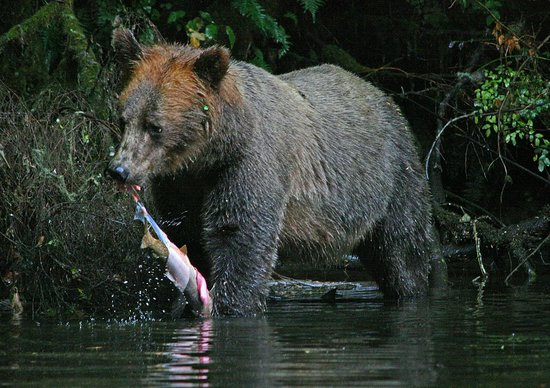 Knight Inlet Lodge: grizzly with its catch