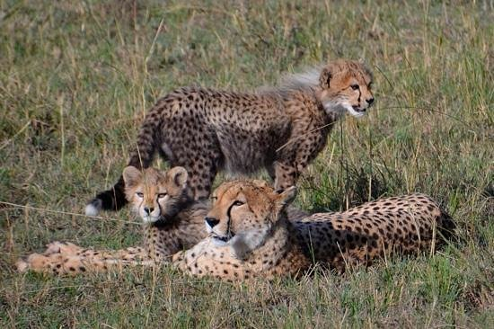 Porini Lion Camp:                   Narasha and her cubs