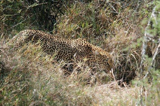 Laikipia Wilderness Camp:                   The Leopard