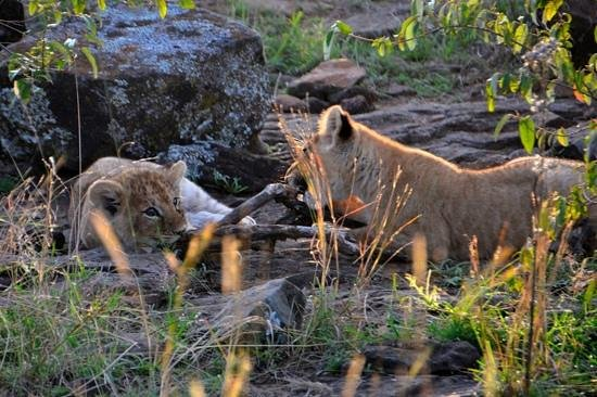 Porini Lion Camp:                   Lion cubs close to Lion Camp