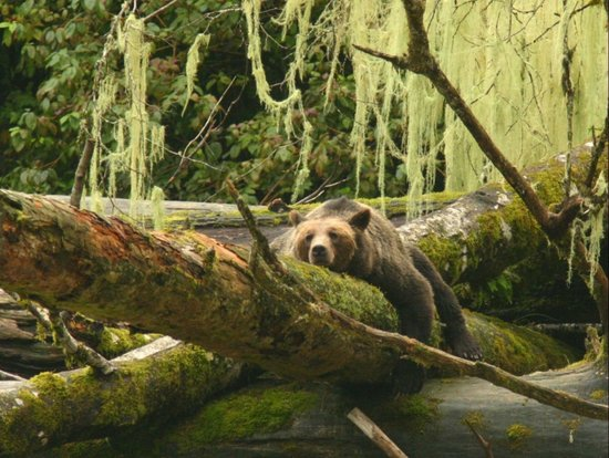 Knight Inlet Lodge: grizzly nap time