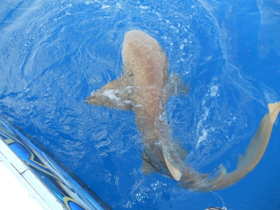 Key West Fishing Connection - Private Charters:                   nurse shark