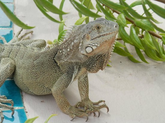 Caribbean Palm Village Resort : Friendly Resident: Henry