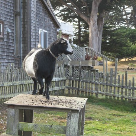 Fensalden Inn:                   The family goat