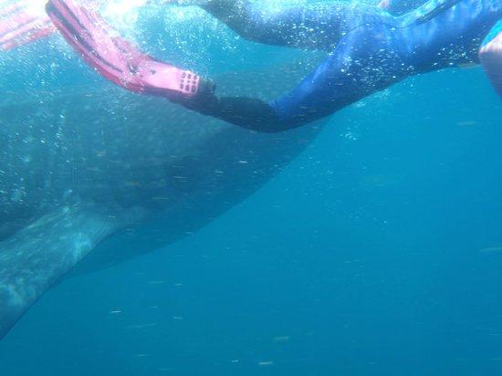 Nautibeach Condos: snorkel with whale sharks