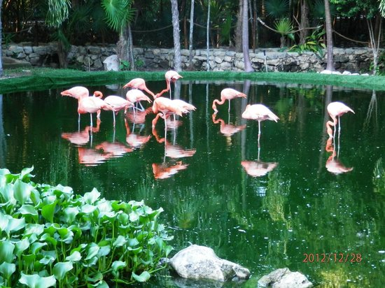 Grand Palladium Riviera Resort & Spa:                   Flamingos on display on the beautifu grounds!