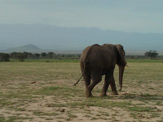 أمبوسيلي سيرينا سافاري لودج:                   Amboseli Serena Safari Lodge                 