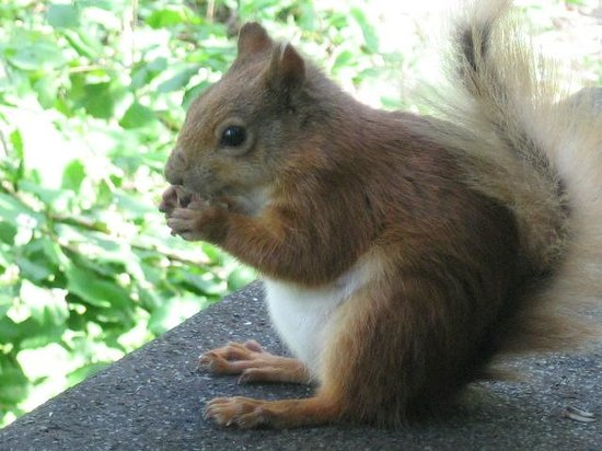 Mulberry Cottage: Red Squirrel on Isle of Wight