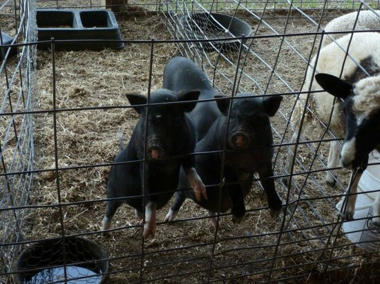 Hershberger Farm & Bakery: Cerdo ibérico?