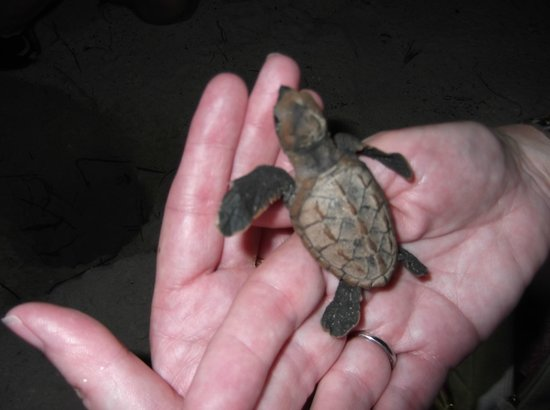 Savannah Beach Hotel:                   Helping hand for a Turtle