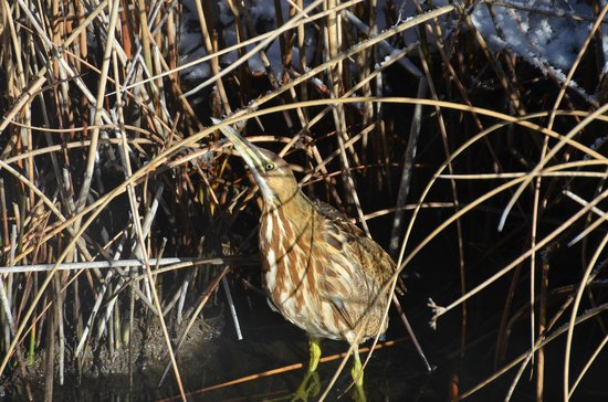 1862 David Walley's Hot Springs Resort and Spa: American bittern