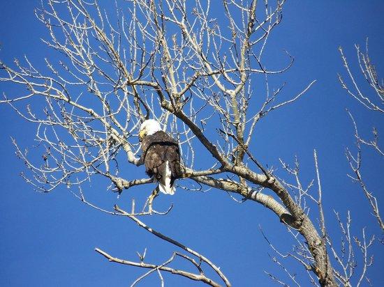 Sacramento National Wildlife Refuge:                   Bald Eagle