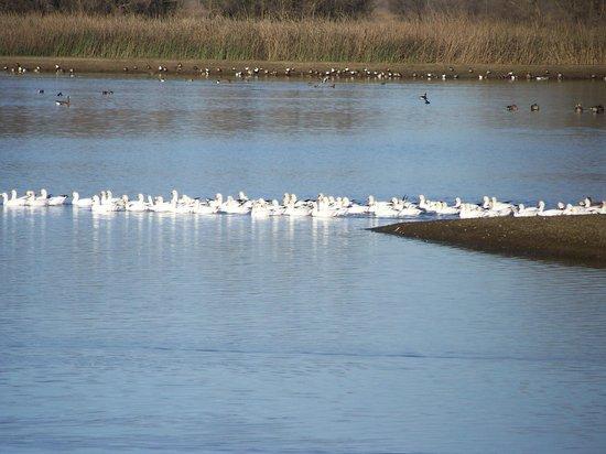 Sacramento National Wildlife Refuge:                   geese
