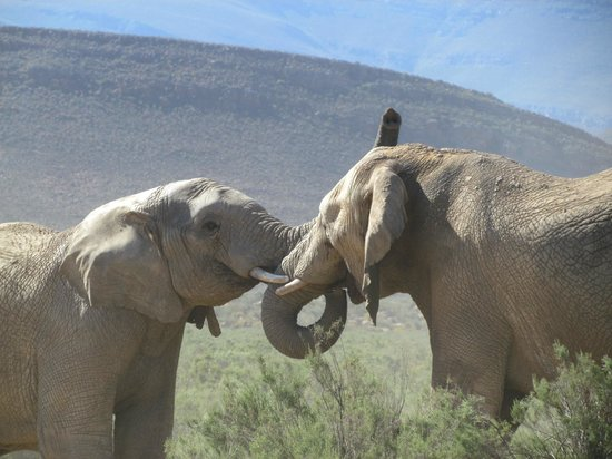 Aquila Private Game Reserve:                   Elephants