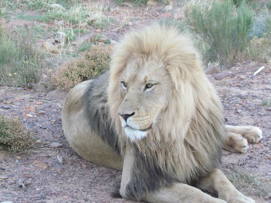 Aquila Private Game Reserve:                   Lion
