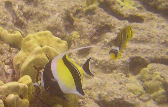 Royal Kona Resort:                   more fish in the lagoon