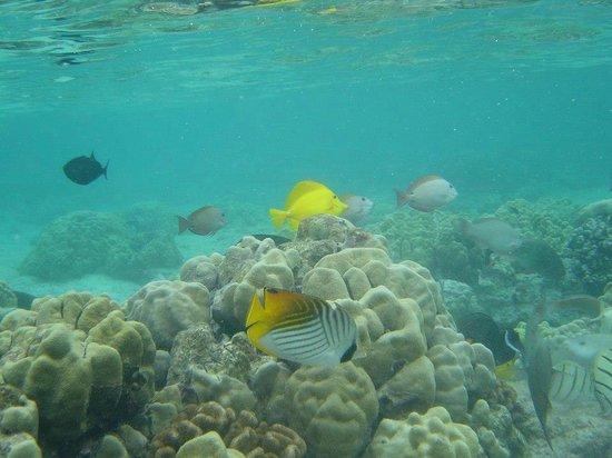 Royal Kona Resort:                   fish in the lagoon