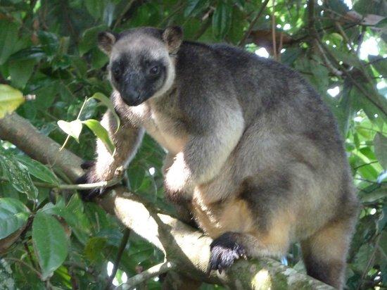 Nerada Tea Plantation : unexpected sighting - a tree kangaroo at Nerada