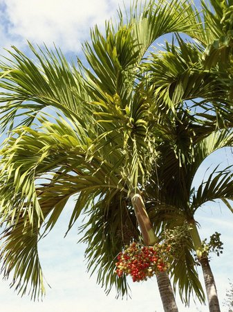 Siesta Key Bungalows: Palm Trees