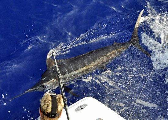 Tropical Sun Sportfishing: 350 lb. Kona Blue Marlin prior to release
