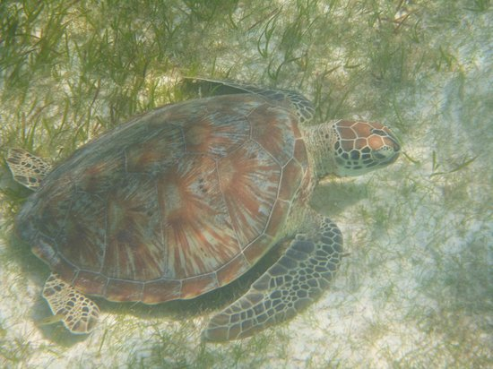 Kuredu Island Resort & Spa:                   turtle 2