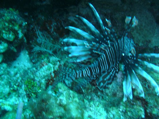 Cayman Marine Lab:                   Lionfish