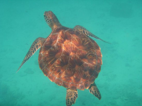 Kuredu Island Resort & Spa:                   turtle lol