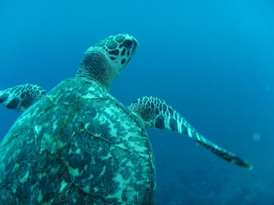Cayman Marine Lab:                   A beautiful underwater moment swimming above the sea turtle