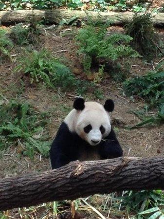 panda deutsche übersetzung