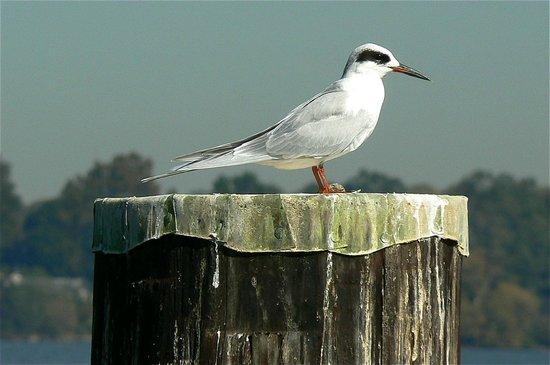 Price's Seafood: Tern