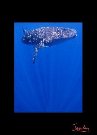 Coral Diving Club: Whale Shark