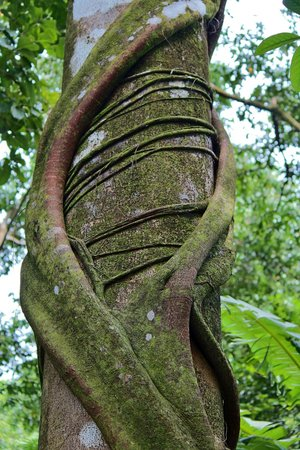 Surcos Tours : Parasite growing around a tree in in Corcovado National Park