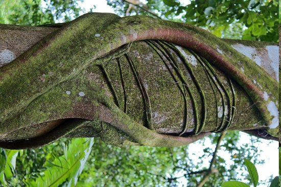 Surcos Tours: Parasite growing around a tree in in Corcovado National Park