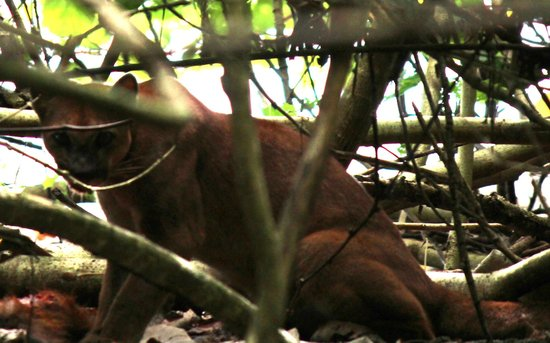 Surcos Tours: Male Puma in Corcovado National Park