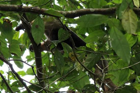 Surcos Tours: Tamandua in Corcovado National Park