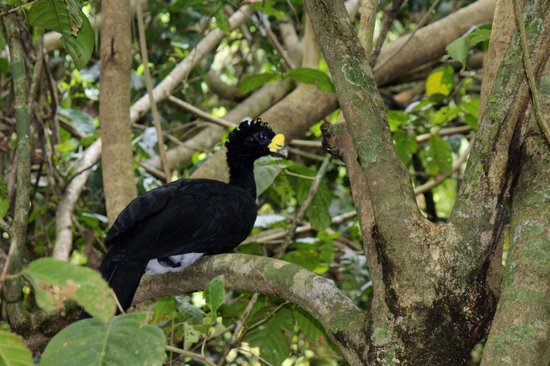Surcos Tours: Great Currasow in Corcovado National Park