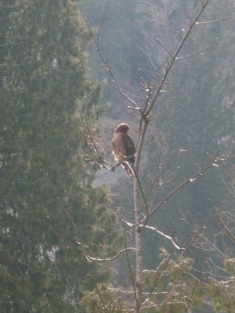 Bowen Island Hideaway: Many birds of prey perch near our property.
