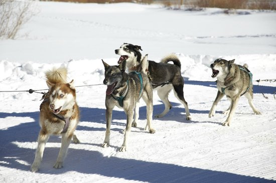 Durango Dog Ranch: Dogs ready to pull!