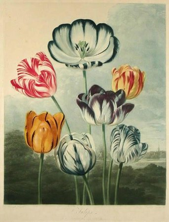 Tam O'Neill Fine Arts Gallery: Tulips, Dr. Thornton, Temple of Flora