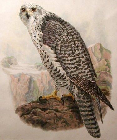 Tam O'Neill Fine Arts Gallery: Icelandic Falcon, by John Wolf