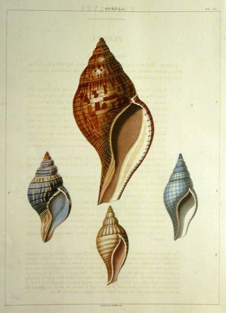 Tam O'Neill Fine Arts Gallery: Seashell engraving by George Perry