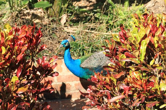 Rip Van Winkle Gardens: Colorfull peacocks throughout the gardens