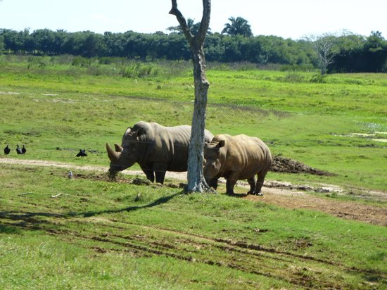 Yumka: Rhino's confined with only a single strand electric fence