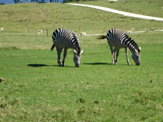 Yumka: Zebra's roaming like horses