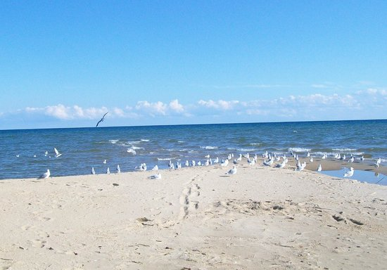 Tawas Point State Park: seagulls everywhere