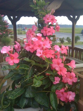Best Western Chincoteague Island:                   Plant at the pool
